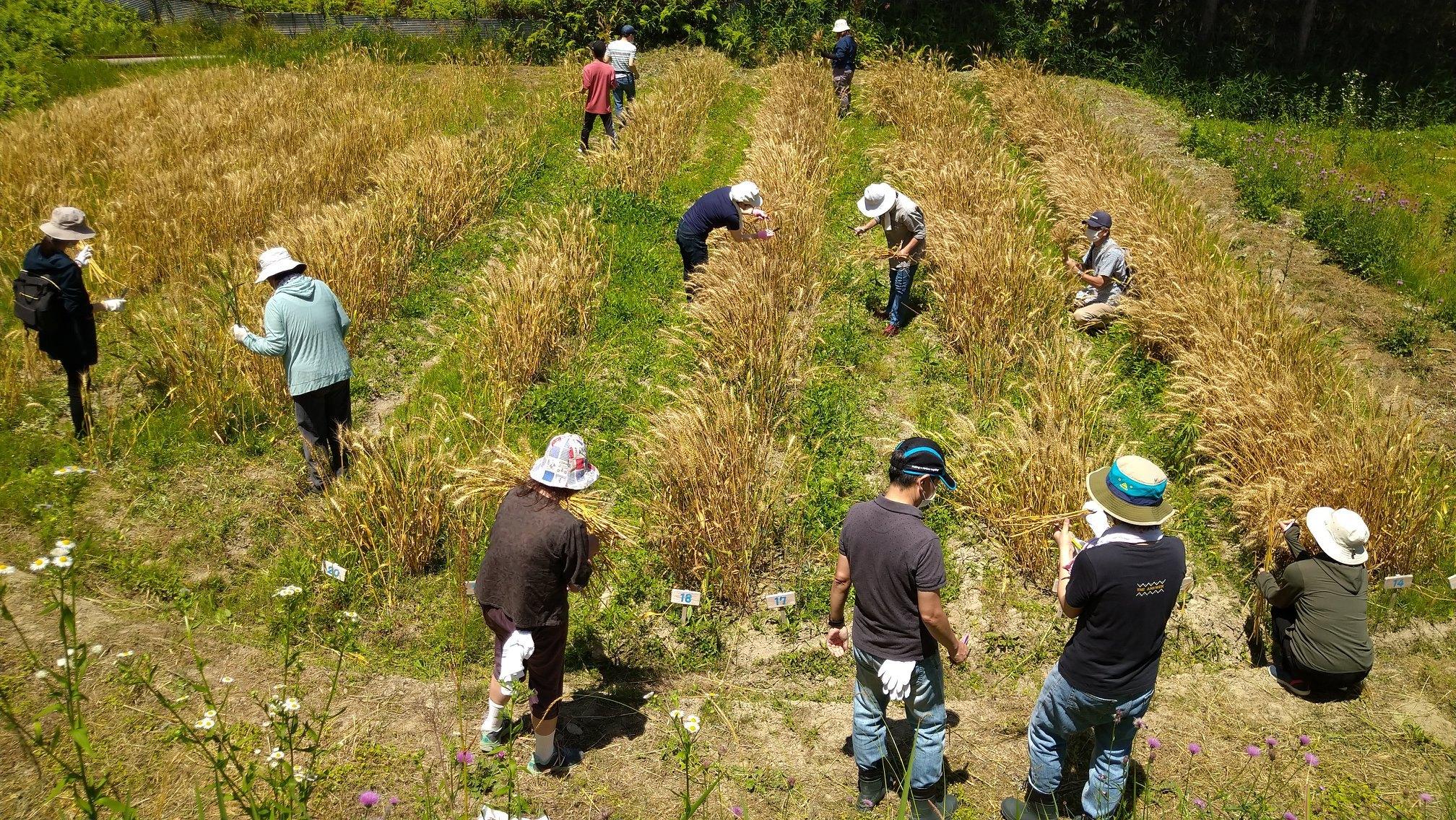 小麦栽培体験
